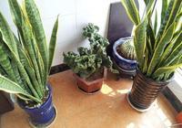 觀葉植物虎皮蘭又名虎尾蘭千歲蘭,姿態剛毅,奇特有趣,精美別緻