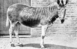 斑馬-古稱 鹿蜀