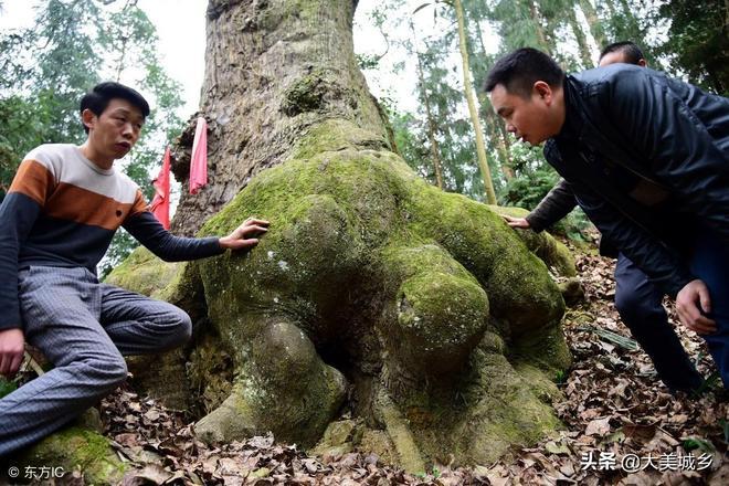 """千年古樹下長出""""大烏龜"""",村民們將其當""""寶"""",逢年過節來祭拜"""