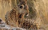 最敏捷獵手:獵豹