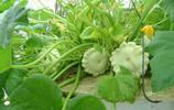 植物圖集:飛碟瓜