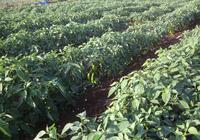 辣椒重茬、辣椒施肥、辣椒定植、辣椒澆水,掌握四點,農戶種植辣椒才能高產