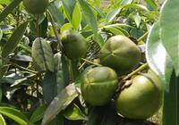油茶種植有沒有發展前景呢?