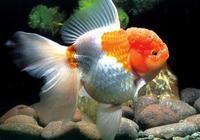 養金魚幾天換一次水 金魚的換水方法是什麼