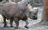 太傷心了!犀牛保護專家一心保護犀牛卻被犀牛殺死