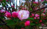 西府海棠花香且豔,是海棠中的上品