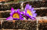 睡蓮是屬於睡蓮科睡蓮屬的多年生水生植物,睡蓮是水生花卉中名貴花卉