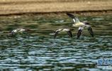 湖北洈水水庫:即將北歸的中華秋沙鴨
