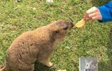 生性膽小的喜馬拉雅旱獺 曾經被人類捕殺 見到遊客卻索要餅乾吃