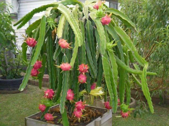 這2種水果,過年後也留著!埋盆裡種成盆景,10天出小苗!
