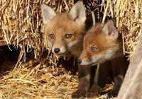 大狐狸扮人偷鵝蛋,小狐狸放哨,被姥姥統統罵走,夜裡就來搗亂