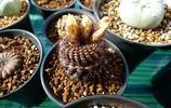 這個仙人球陽臺美極了,它們開出的花比牡丹還要嬌豔