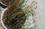 農村大哥酷愛石斛,山上採到的石斛擺滿陽臺