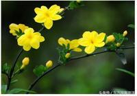 又到清明時——墳塋上開著迎春花