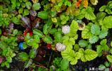 西藏草莓,產於西藏的野草莓