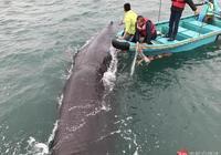 直擊深圳抹香鯨救援 12米長抹香鯨受傷後又擱淺,聲納救援已失敗