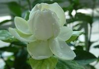 梔子花也分品種讓我們認識一下梔子花的品種吧