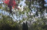 """組圖:煙臺山燈塔下的古欒樹,又結出了滿樹""""小燈籠"""""""