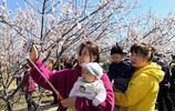漫山遍野的山桃花吸引了眾多遊客,一農婦抓住商機幾天就賺一萬多