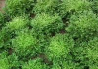 喜歡吃苦菊的人很多,但是你知道怎樣種植嗎?這幾點是關鍵
