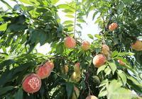 吃桃好,渾身是寶的桃這樣吃更養生