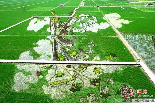 瀋陽稻田畫迎來最佳觀賞期
