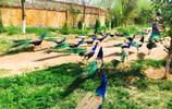 攝影圖集:美麗的孔雀之雄關區中華孔雀苑