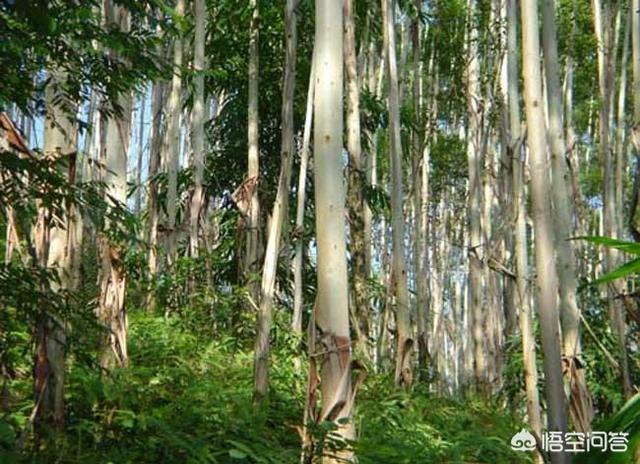 南方農村的桉樹種植幾年賣最划算?