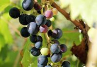 買的葡萄乾可以直接吃嗎?聽果農一說,才發現做錯二十年了