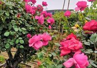 盆栽月季夏季如何繁殖栽培