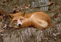 故事:爺爺為了救我命,居然要我結陰親,娶一隻狐狸屍體做老婆