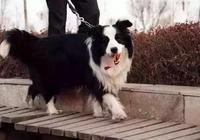 自從養了邊牧以後,經常被它智商碾壓,真懷疑它不是狗~