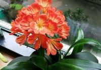 君子蘭植料必須要加松針嗎,推薦一些經典實用的君子蘭植料