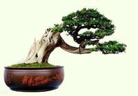 樹樁盆景:舍利干與神枝