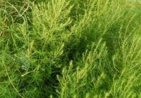 農村這種野草隨處可見,卻可以藥食兩用,可惜無人研究開發