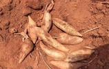"""小村農民包地種""""假紅薯"""",城裡人知道以後搶著買,大爺有點懵"""