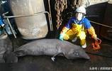 """漁民捕到古怪大魚,魚身柔若無骨很""""銷魂"""",這是什麼魚?"""