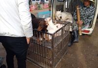 狗市:商販出售未立耳的大杜賓犬,買主喊價800元!