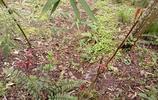 實拍:農村摘香椿、香椿炒鵝蛋