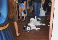 有客人到家,狗狗一直搗亂,主人該怎麼教導它呢?