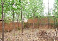 豐鎮:被毀林木見證的人心