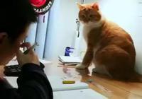 孩子寫作業老分心,父親派橘貓去查崗 貓:我為這個家付出了太多