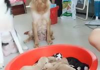 二哈和金毛同生了小奶狗,主人拿小狗測試,是否能認清自己的娃