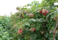"""廣西有種長在樹上的""""草莓"""",1顆能頂8顆藍莓,你們那裡有嗎"""