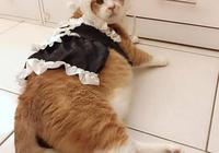 害怕自己新衣服被脫掉,橘貓趕緊縮回角落,主人都被氣笑了!