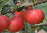 蘋果膨大期怎麼管理,這些措施你應該瞭解到!