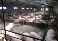 農民學養豬,如何養豬高產母豬