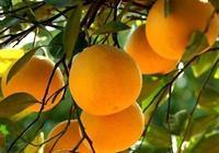 柚都石城—常山胡柚