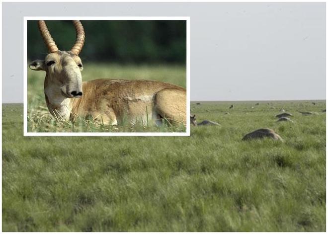 高鼻羚羊:種群現狀