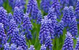 花卉圖集:葡萄風信子